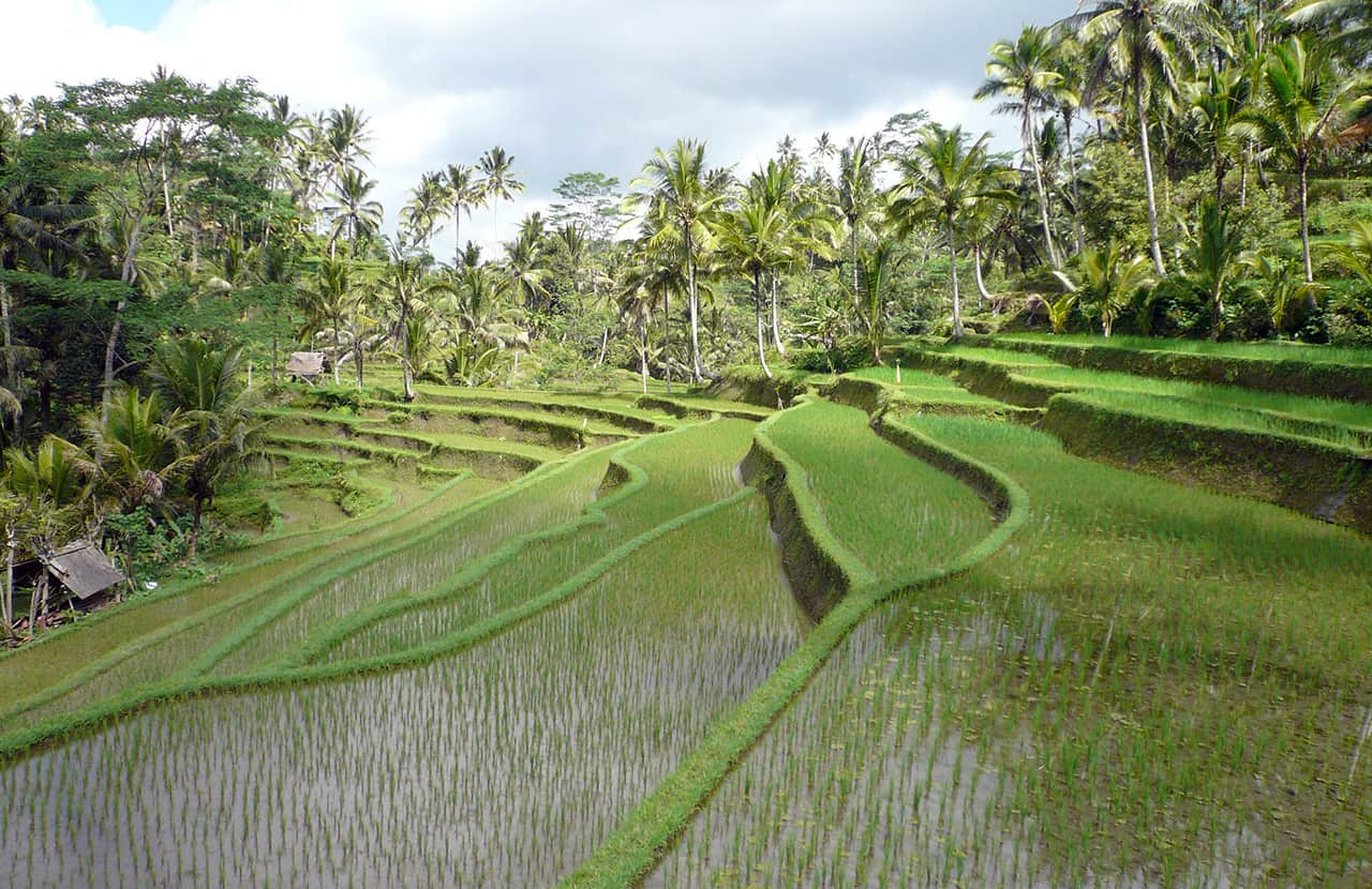 Rijstvelden rondom Ubud