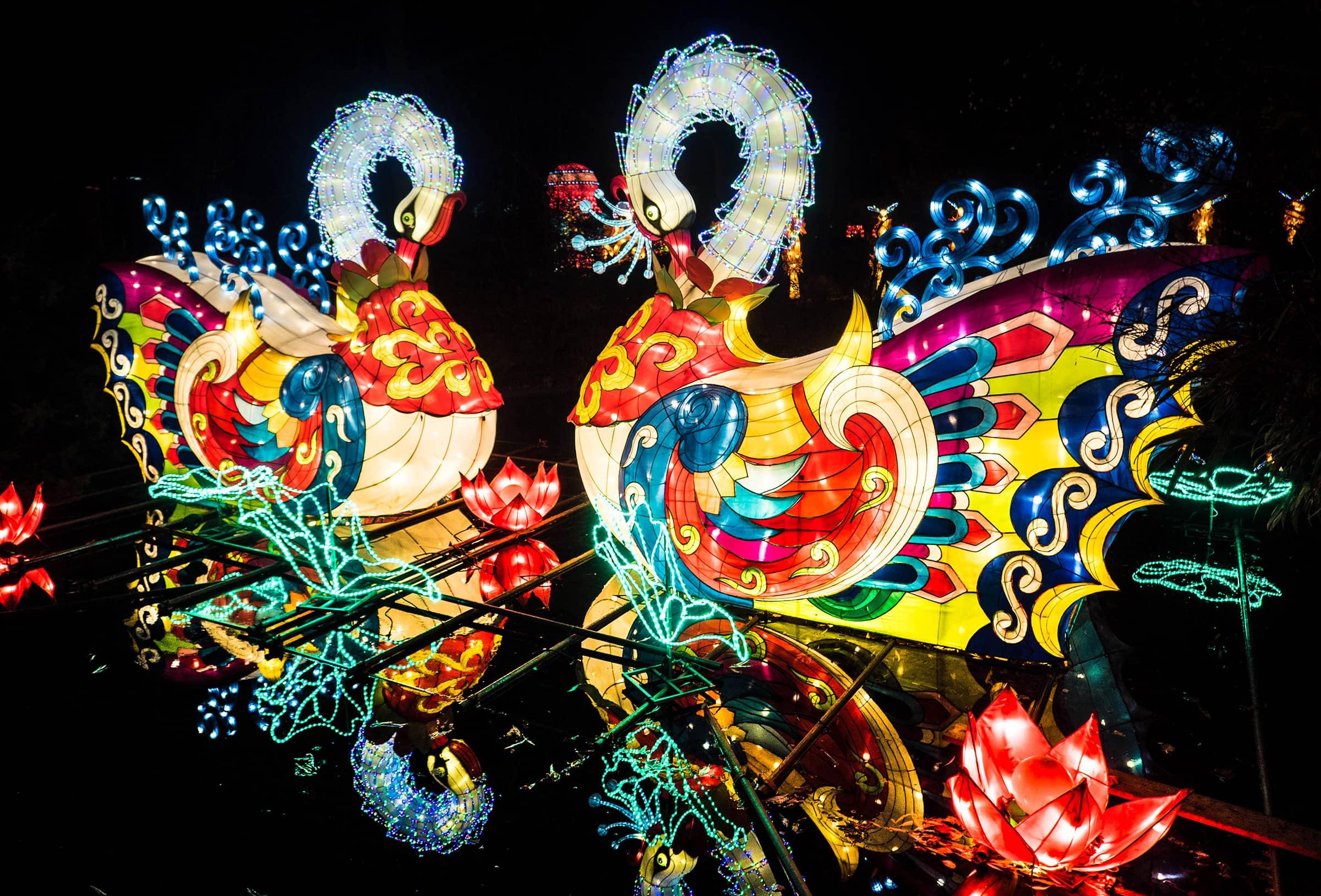 Zwanen bij de China Light ZOO