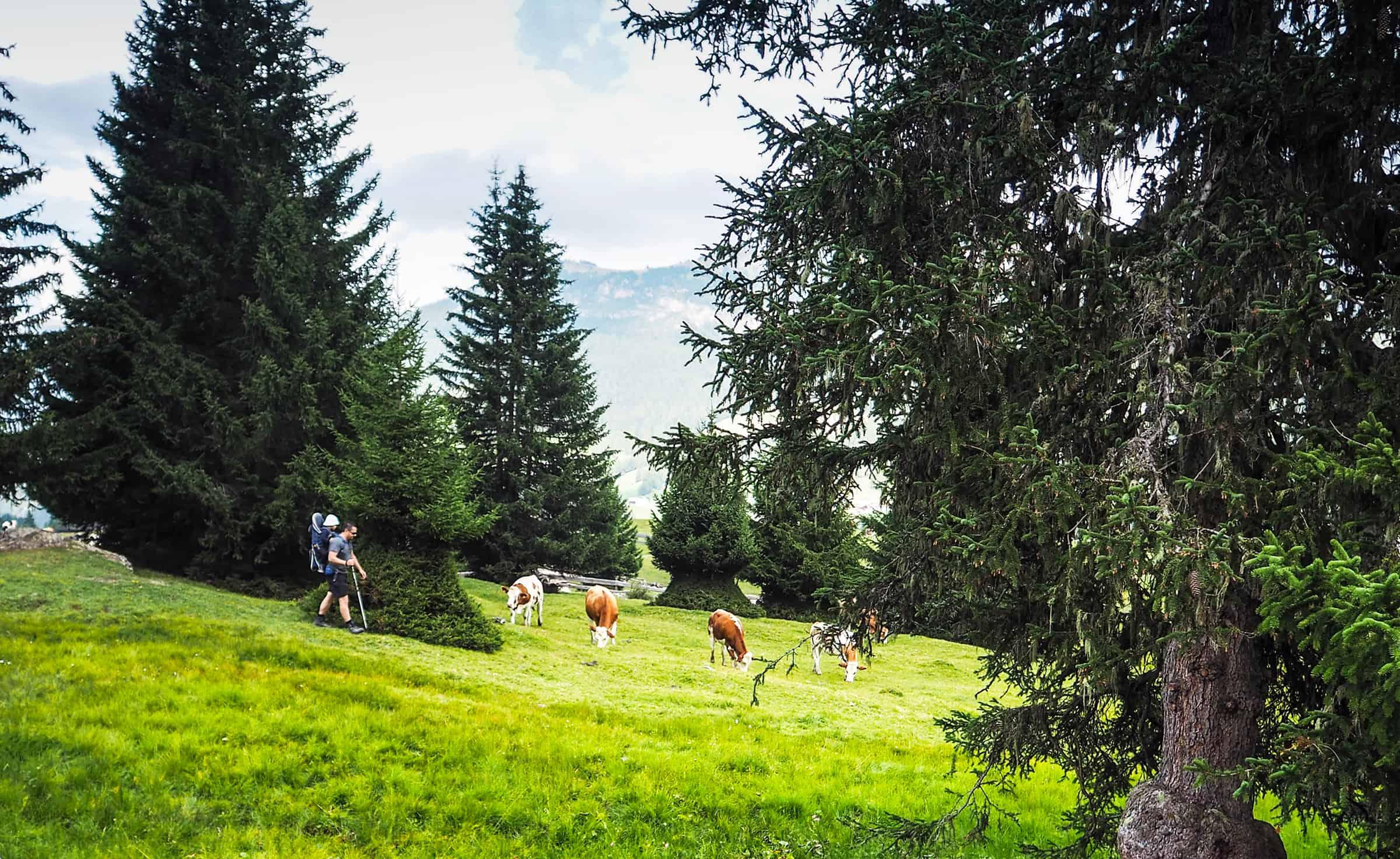 Wandelen tussen de koeien